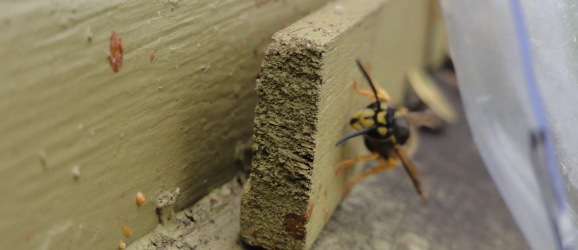 Why Should Beekeepers Trap Wasps in Spring
