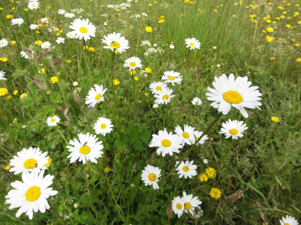 These wild flowers are growing next to the footpath that runs from Worlds End Farm house to Beedon Common.