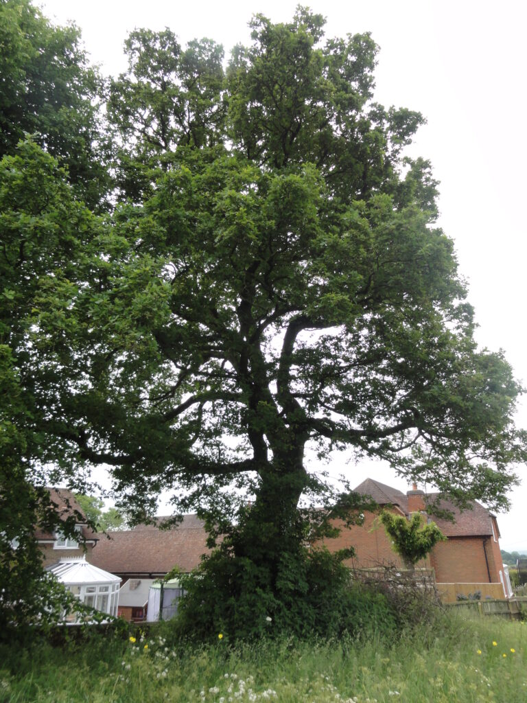 Is this oak tree one of a pair of trees which was in the photo taken of Mr Woodley in his garden with a multitude of beehives?